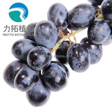 GMP standard factory supply Nature black currant seed extract, anthocyanidins 5%-25%