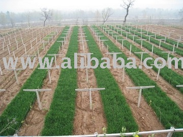 !(SuperDeals)sell Chinese Gooseberry,kiwi,chinese gooseberriesYang-tao,fuzzy green variety,Hayward ,actinidia berry