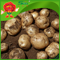 yellow potatoes Yunnan highland planting pollution free cheap price potatoes
