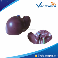Human liver plastic model/gifts anatomy liver