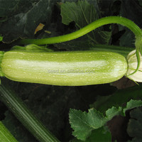 Pumpkin No.1 long shape light green skin hybrid pumpkin seeds
