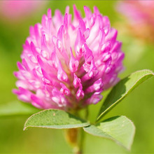 Female Menopause and Anti-inflammatory Sterilization Red Clover Extract with Isoflavone