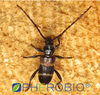 Pheromone lures of Semanotus bifasciatus with trap set