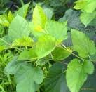 Mulberry Leaves Extract 2% DNJ