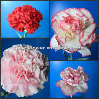 Fresh cut flowers Yunnan carnation