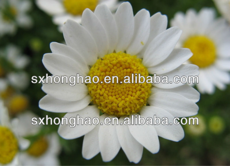 Ntural Feverfew Flower Extract Powder