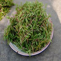 Ma chi xian zhong zi green Purslane vegetables Seeds For Sale