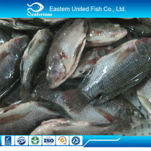 frozen wholesale health us farm raised tilapia