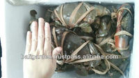 Live green mud crab from Thailand