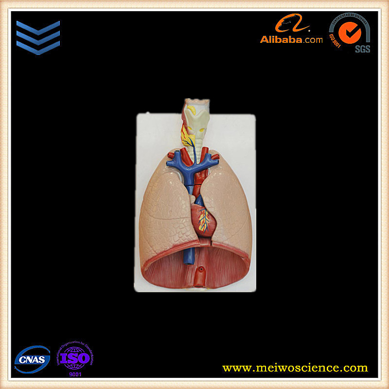 Larynx,heart and lung anatomy model of the human body for medical teaching