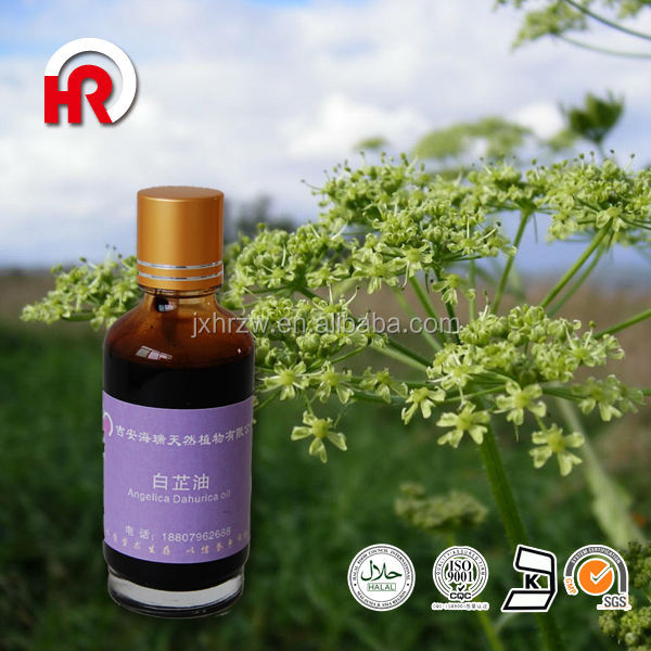 100% Herbal Medicine Angelica dahurica oil for sale