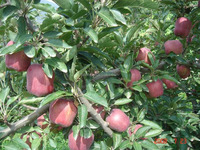 Fresh apple fruit for sale with good quality Huaniu apple