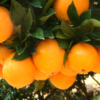 2017 Low Prices Fresh Seasoned Egyptian Orange Exporters