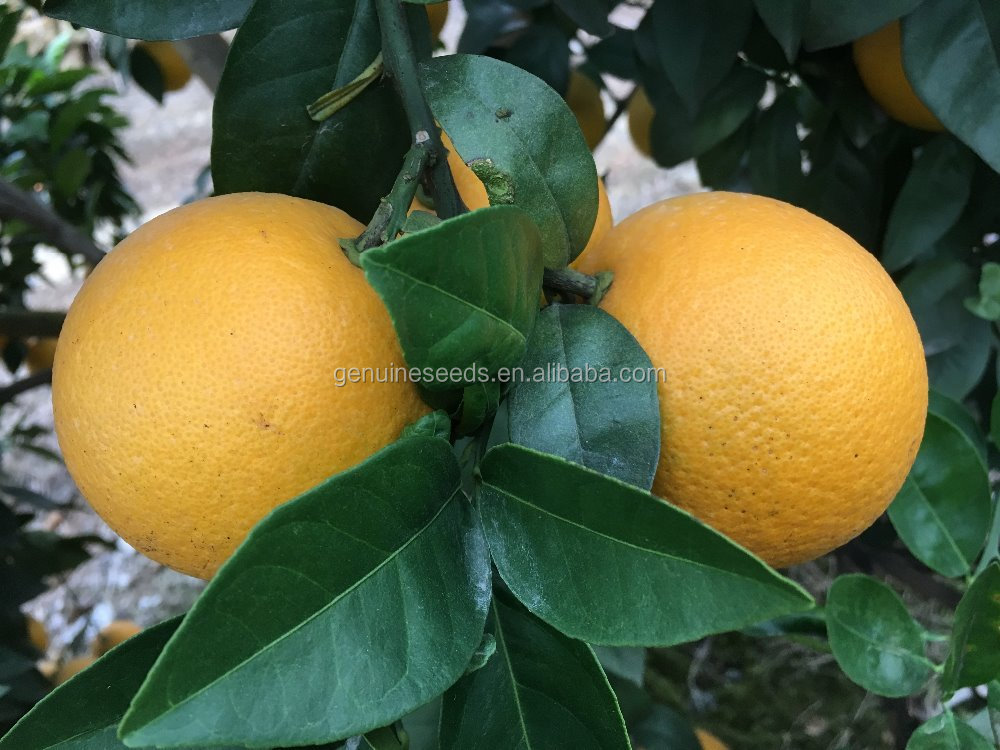 Citrus junos Tree Seeds for planting fruit seeds