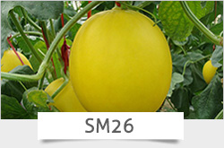 P20 Zhenbao f1 hybrid light green pepper seeds, 26 to 28cm, 80grams