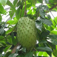 factory directly supply pure Anticancer Ingredient Soursop Fruit Extract / Annona Muricata Extract / Graviolextract, powder