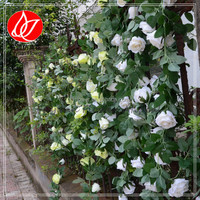 140410 alibaba china manufacturer wholesale china factory decorating indoor vine plants