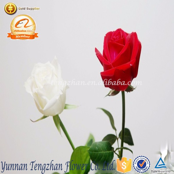 Booming Colorful gorgeous types of wholesale fresh cut rose flowers