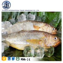 Fresh frozen big silver croaker fish spot seafood