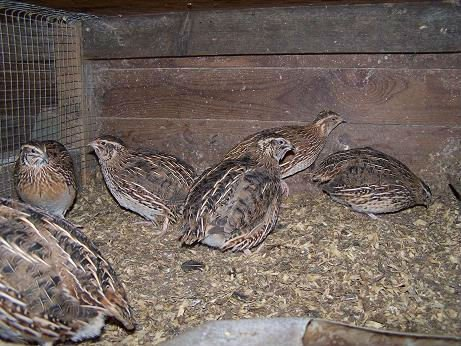 Barlas Incubators, Quails & Other Fancy Birds