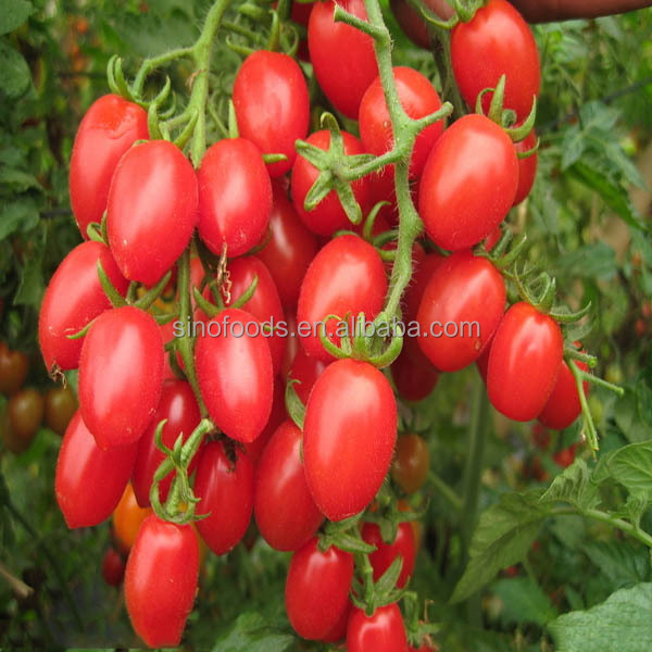 Xiao xi hong shi zhong zi factory price for F1 Hybrid Best Tomato Seed