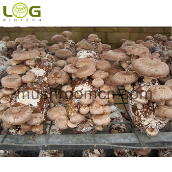 Stable quality excellent price high yield shiitake mushroom spores