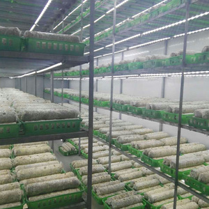 Hot selling cultivating fresh mushroom economical price mushrooms seed for sale