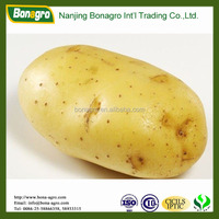 fresh Holland Potato-shandong crop -high quality sell good
