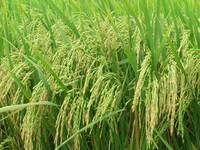 Long grain 25% broken