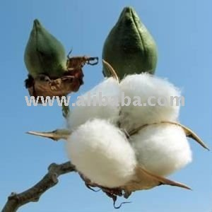 Raw and Ginned Cotton - of Yemen