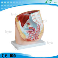 XC-332A medical teaching female pelvis anatomic model