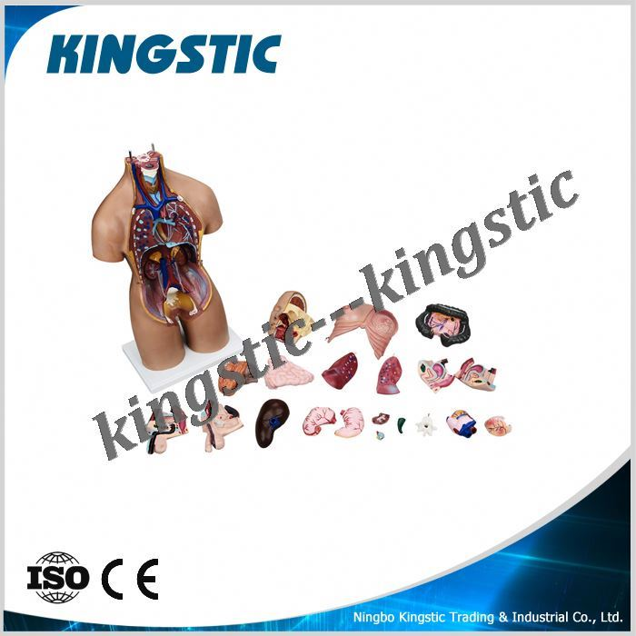 Kingstic set artificial human anatomy model