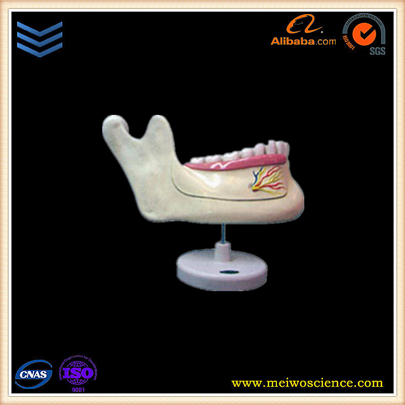 human body anatomical mandible permanent tooth model/dental study model
