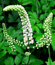 100% Natural 2.5%Triterpense Black Cohosh Powder