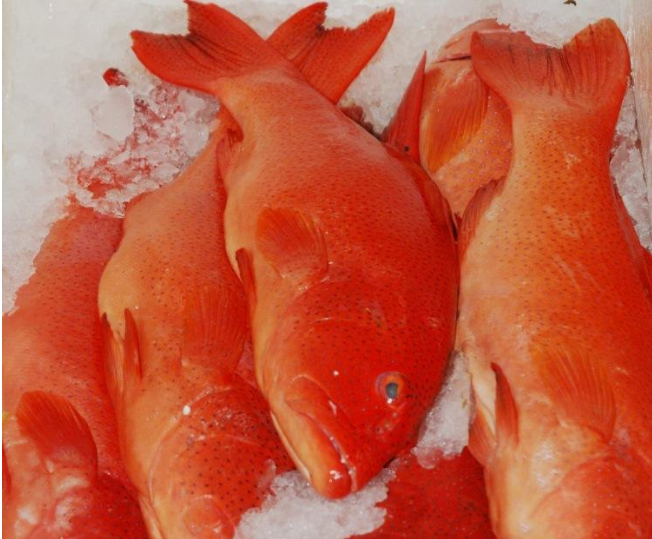 Hot sale frozen red grouper <strong>fish</strong>
