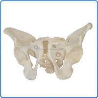 Life-Size Plastic Adult Male Pelvis Model