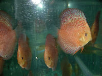 Aquarium Ornamental Freshwater Fish, Wholesaler Tropical Fish, High Quality Discus,