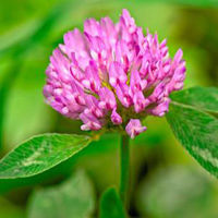 High Quality Herbal Extract Red Clover Powder