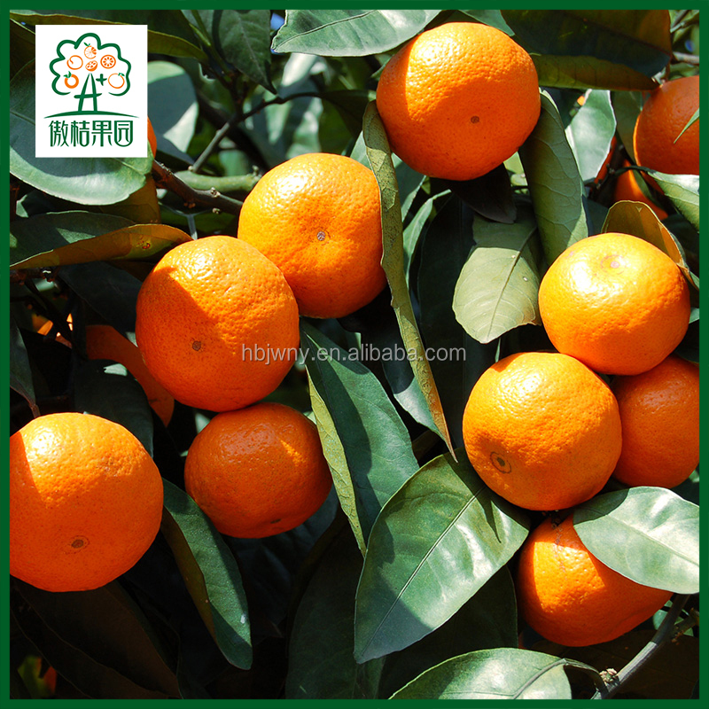 Wholesale small clementine tangerine