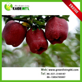 new crop of fresh royal apple from Shandong province China