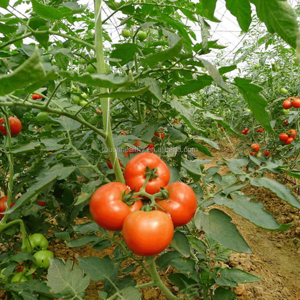 2017 Touchhealthy Supply Red and pink color f1 hybrid tomato seeds for sale