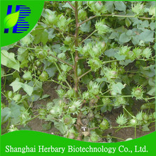 Hot sale good resistance colored cotton seed for cultivation