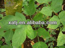 Dongquai extract plant/herb/herbal extract