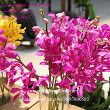 Professional Wholesale Baby Orchid,Moth Orchid At Multi-Colored, Orange, Yellow From Sunshine Yunnan