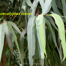Eucalyptus Essential Oil with 100% Pure Natural Plant With Low Price