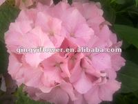 China wholesale high quality multi-color cheap hydrangea flower
