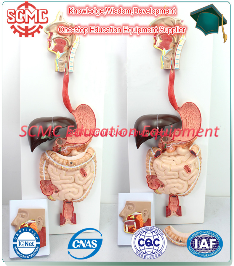 SE327102 Digestive System Model, digestive model, anatomical model,medical model,best selling goods