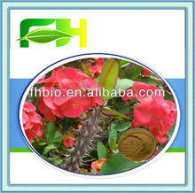 High Quality Flower Extract of Crown of Thorns