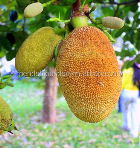 Low price jack fruit seedling