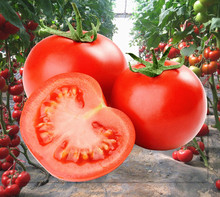 Vegetable seeds indeterminate tomato hybrid seeds pink color